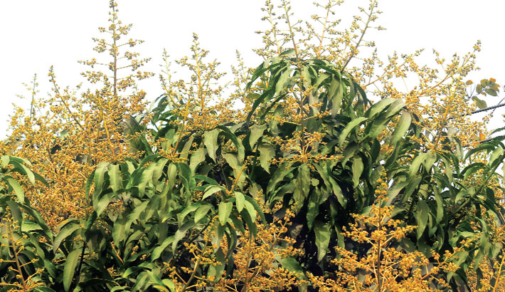 A mango tree is in blossom