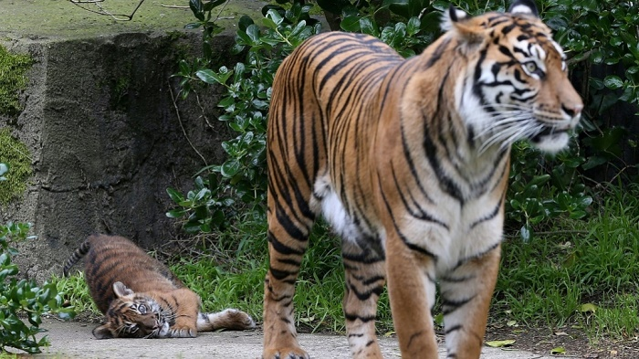 Indonesia tigers: Zookeeper killed after endangered animals escape