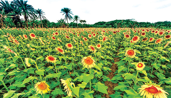 Sunflower cultivation gets popular in Netrakona