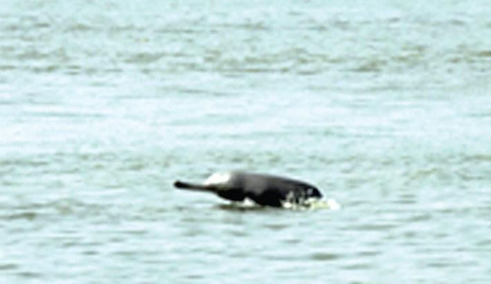 Dolphins dwindle in Karnaphuli