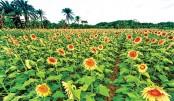 Sunflower cultivation gets popular in Netrakona