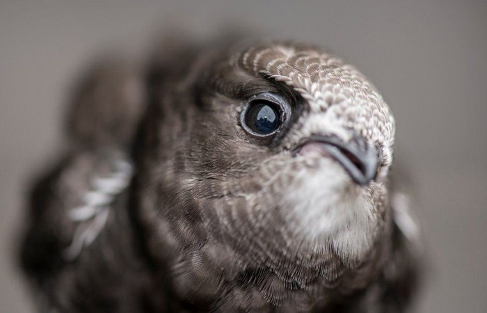 Edinburgh aims to become sanctuary for swifts as numbers decline