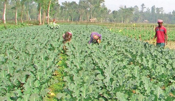 Farmers are busy harvesting Broccoli