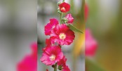Lovely hollyhock flowers