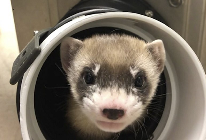 1st clone of US endangered species, a ferret, announced