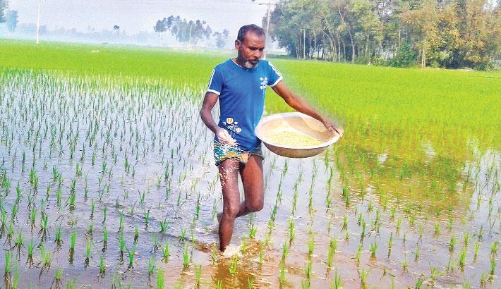 A farmer spreads fertiliser on his Boro paddy field