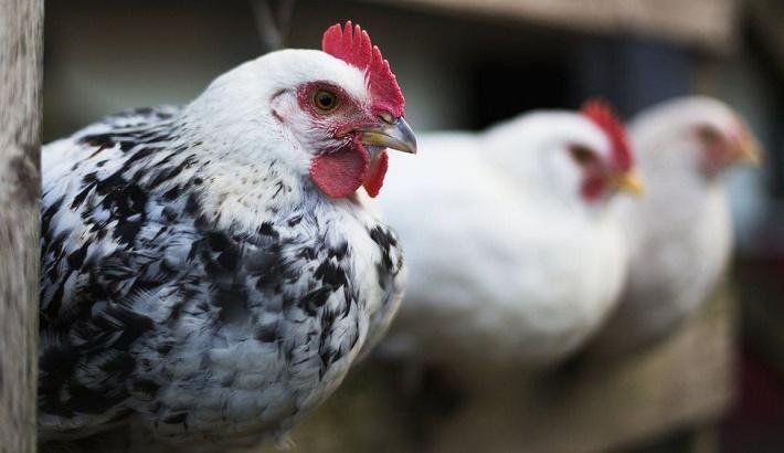 Bird flu Russia detects first case of H5N8 bird flu in humans