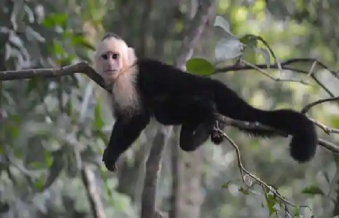 Genome study of Capuchin monkey uncovers hints on its large brain, long life