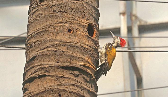 A woodpecker pecks at a coconut tree on Jatiya Press