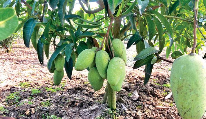 All-season mango brings new hope for farmers
