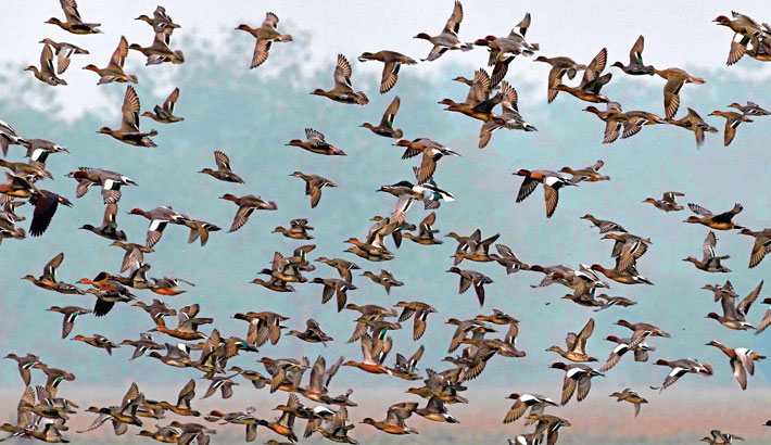 Migratory birds fly over a wetland