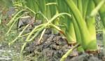 Taro stolon farming gets popular  in Cumilla