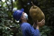 Danger or delight? Uphill battle for Brazil's huge jackfruit