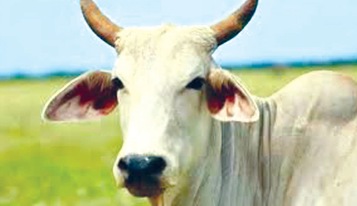 71kg of waste found in stray cow's stomach