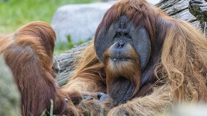 San Diego zoo apes given experimental vaccine