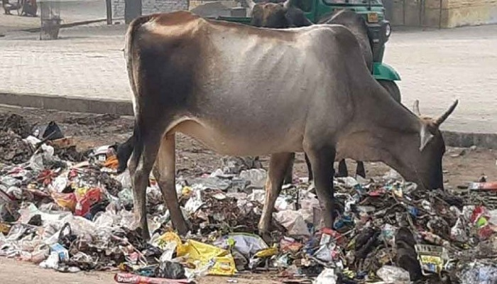 71kg of waste found in stray Indian cow's stomach