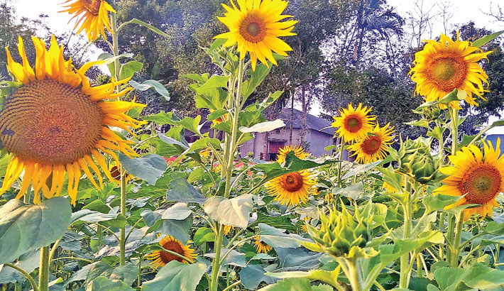 Sunflower has been cultivated