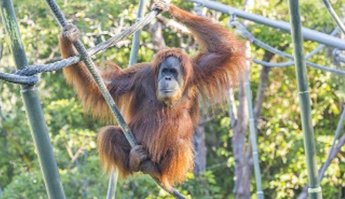 San Diego zoo apes given corona vaccine