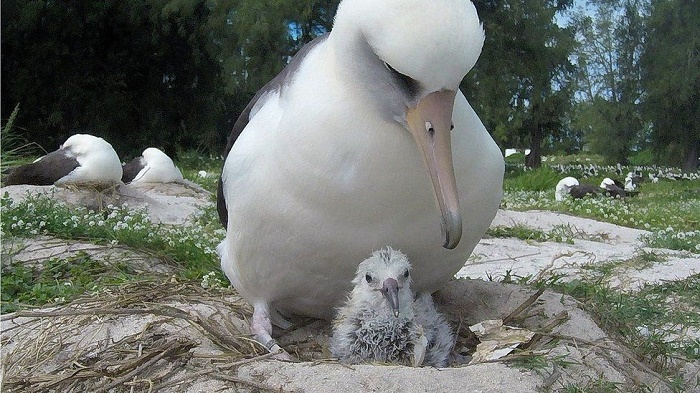 World's oldest known wild bird has another chick at age of 70