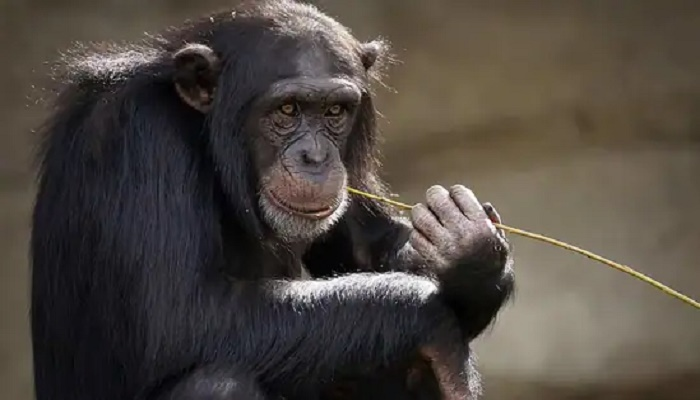 Researchers uncover subspecies of chimpanzees despite isolation events