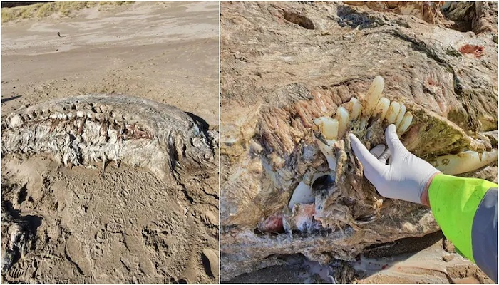 Mysterious 23-feet long sea creature with no face washes up on the beach in Wales