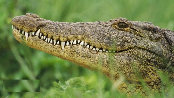 Crocodile hunt: Search on for escaped reptiles in S. Africa