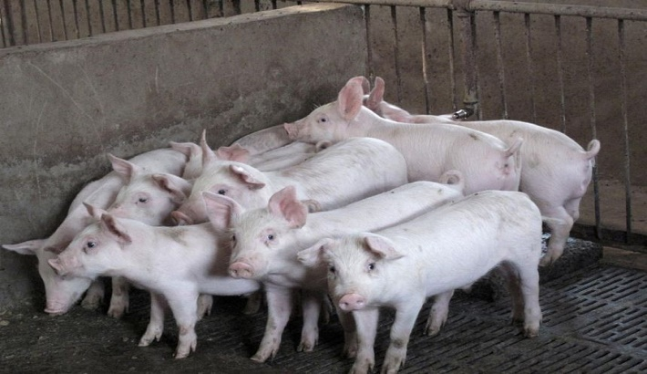 China to crack down harder on fake African swine fever vaccines