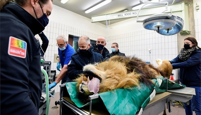 Thor the lion has a vasectomy in Dutch zoo