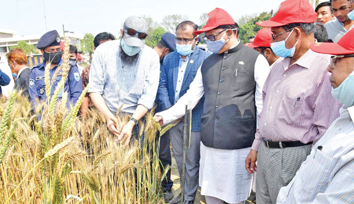 Blast-resistant wheat variety to boost production