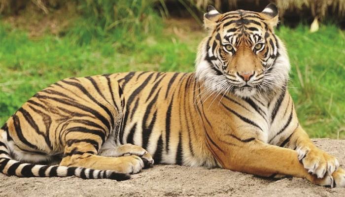 Tigress found dead in Sundarbans
