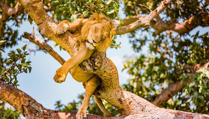 Uganda: Lions found dead in Queen Elizabeth National Park
