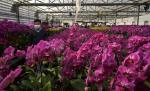The ubiquitous orchid: A pandemic project with surprises