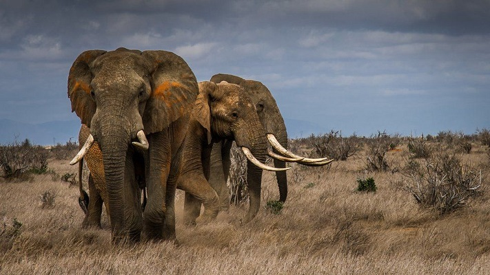 Extinction: Elephants driven to the brink by poaching