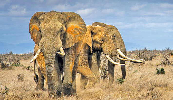 Elephants driven to the brink by poaching