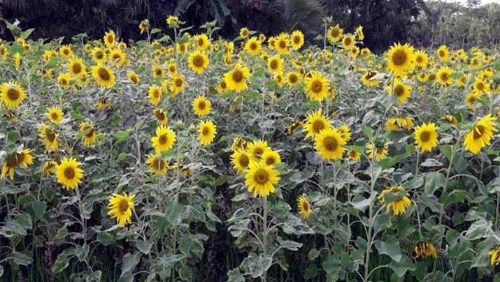 Sunflower cultivation in Khulna: Salinity no longer a barrier