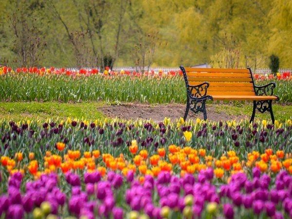 Around 50,000 visitors in 5 days! Asia's biggest Tulip garden a major hit in Srinagar