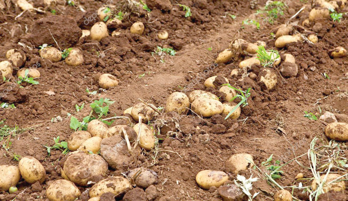 2 lakh tonnes of potato to be exported to Malaysia