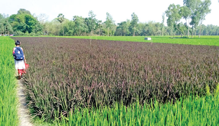 A newly invented purple rice variety has been cultivated experimentally on