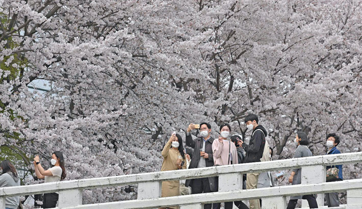 Visitors take pictures from a bridge under cherry blossoms