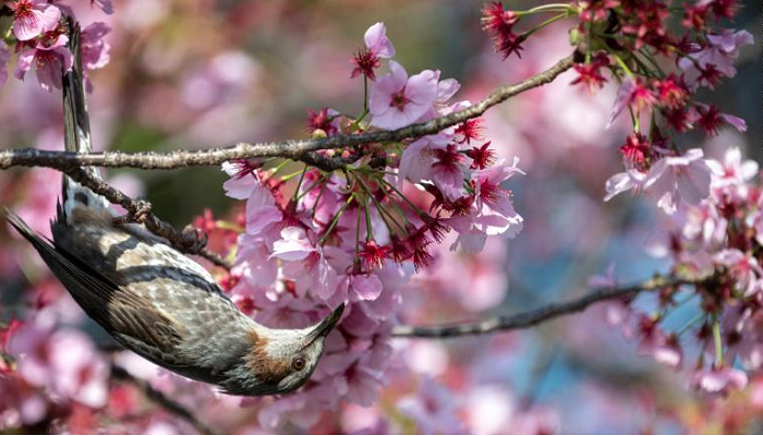 Japan just recorded its earliest cherry blossom bloom in 1,200 years
