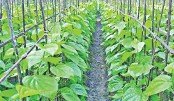 Betel leaves export to EU to resume after 7 years