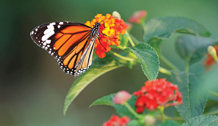 A colourful butterfly collects nectar from flowers
