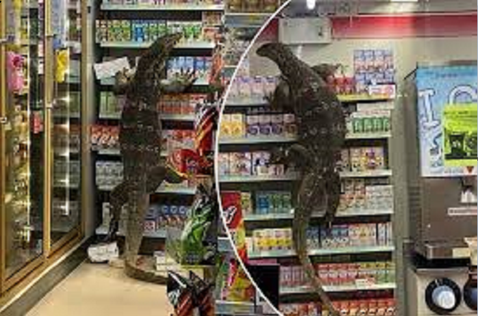 Giant monitor Lizard goes shopping at Thailand 7-11 store (Watch)