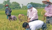 Boro harvest begins in Moulvibazar haors