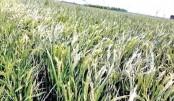 Boro paddy hit by heat wave