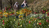 Visitors tiptoe through the tulips in Dutch virus test