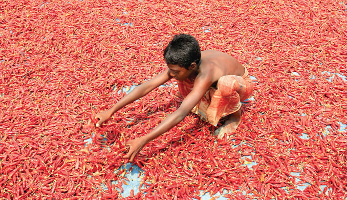 A young boy is busy drying red chilies in the sun