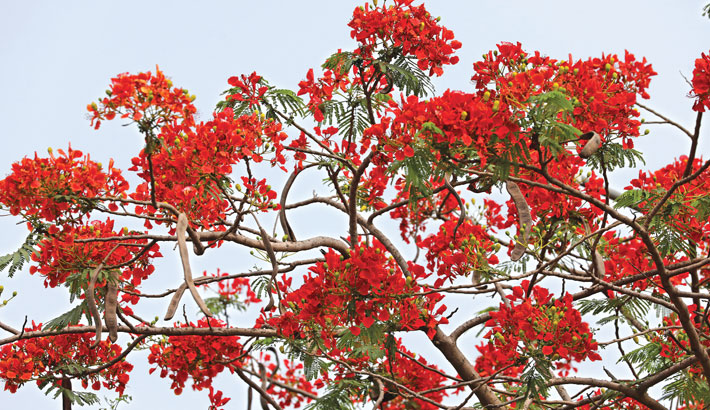 A Krishnachura tree is covered in full blossom giving the nature