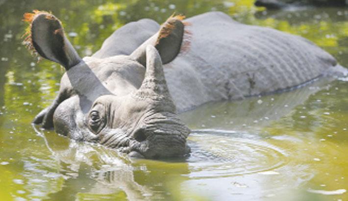 Rhino population grows in Nepal