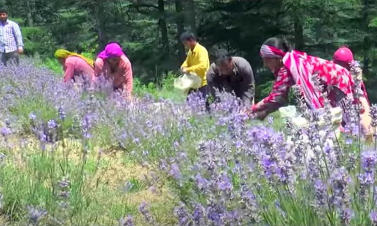 Indian farmers turn to lavender to beat drought